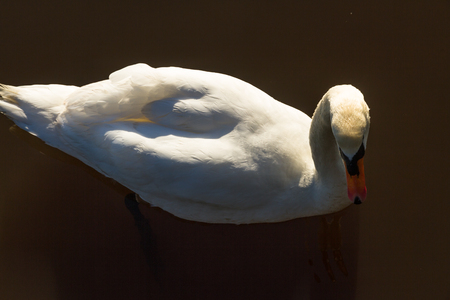 Mute Swan, on water, backlit by morning sun. Stock Photo