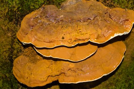 Bracket Fungus or Ganoderma Applanatum growing on a tree trunk. Stock Photo