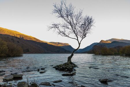Lone Tree in Lake Padarn with Snowdonia Welsh mountains in the background, Llanberis, Autumn or fall evening, last light of day