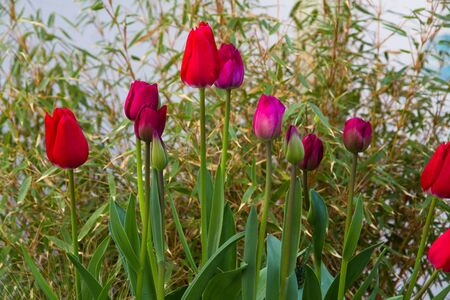 Growing tulips with grass in background, landscape.