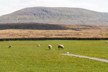 Park Fell Hill, with grassy field and sheep in foreground. Ribblehead, North Yorkshire, Europe, England, landscape.