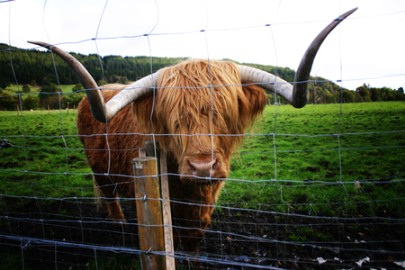 coo: Highland Coo
