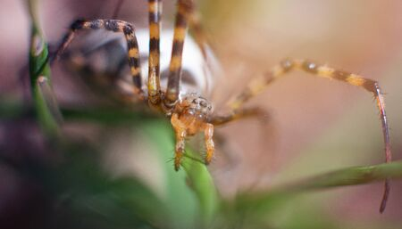 A macro close-up mediterranean spider, a female exemplar of Argiope Bruennichi called also Wasp Spider, common in Europe and Africa. Shot in open country in Sicily.