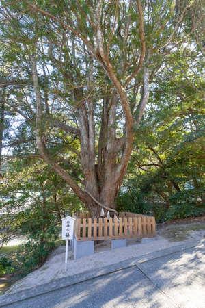 Chiba Prefecture Tateyama Awa shrine sacred tree 写真素材 - 118865567