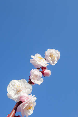 Blue sky and plum flowers