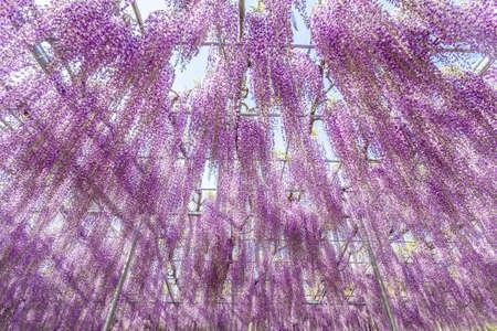 Ashikaga flower park. 写真素材 - 122514770