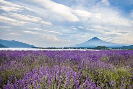 Kawaguchiko Oishi Park Lavender and Mt. Fuji