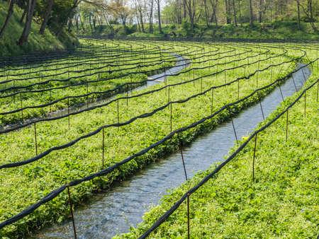 Azumino Daio Wasabi Farm