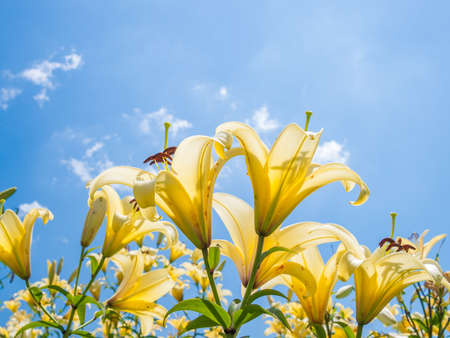 Summer Sky and Lily Blossoms