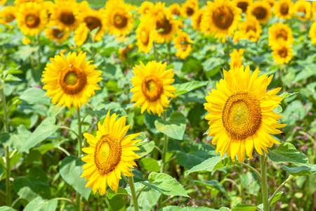 Sunflowers in full bloom 写真素材