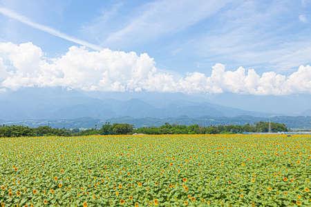 Sunflower field in Akino, Hokuto City, Yamanashi Prefecture