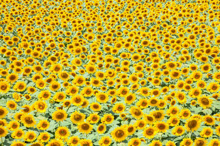 Sunflower fields in full bloom