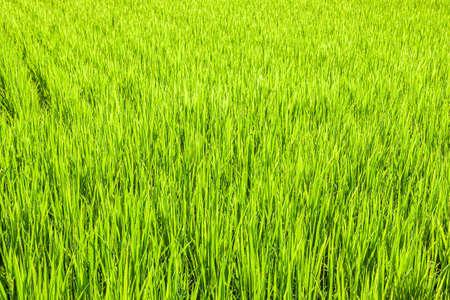 Rice farming image
