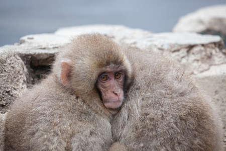 Japanese macaques of Jigokudani Monkey Koen