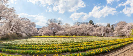 Soiji Cherry Blossoms and Daffodil Flower Garden