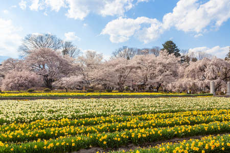 Soiji Cherry Blossoms and Daffodil Flower Garden 스톡 콘텐츠 - 144655136
