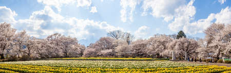 Soiji Cherry Blossoms and Daffodil Flower Garden 스톡 콘텐츠 - 144655169