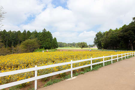 Narita Yume Ranch Sunflower Field in Full Bloom