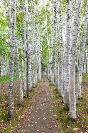 White birch , Hokkaido 写真素材