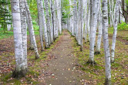 White birch, Hokkaido 写真素材
