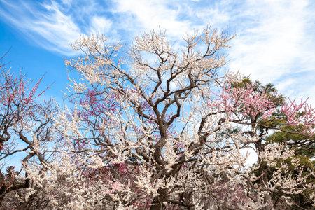 Kairakuen Plum Grove in Full Bloom