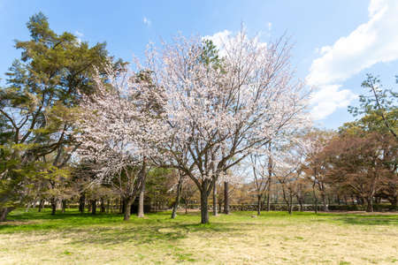 Cherry blossoms in Kyoto Gyoen