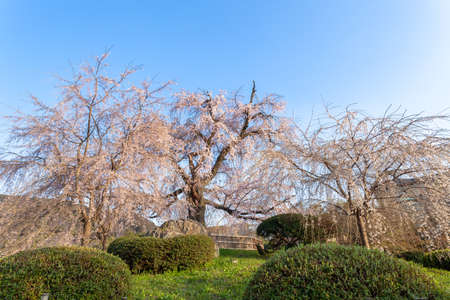 Weeping Cherry Blossoms at maruyama Park, Kyoto