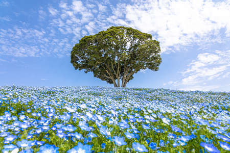 Mother Ranch Blue Sky and Nemophila Flower Garden in Full Bloom