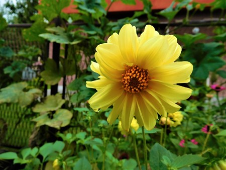 The yellow bloom of dahlia and fence on the background Stock Photo
