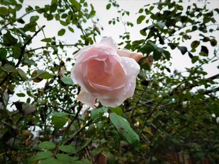 The pink rose with waterdrops and in the background green and sky