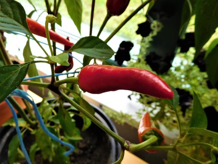 Red pepper and many leaves with window Stock Photo