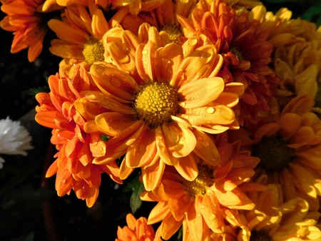 The orange aster with raindrops on petals Stock Photo
