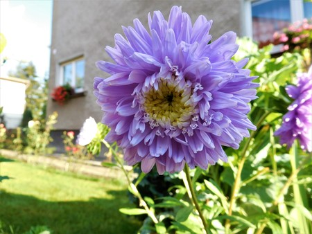 marguerite: The milions of blue-purple petals and grass on the background