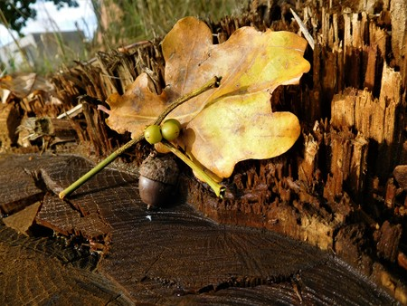 The acorn with colorful leaf Stock Photo