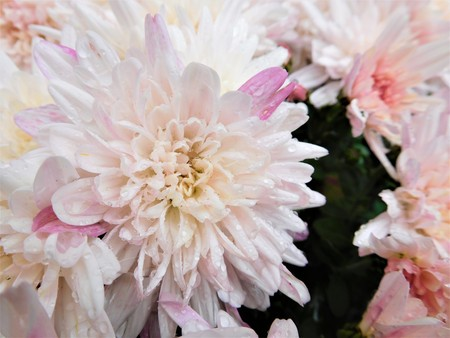 The asters are beautiful flowers with beauty bloom