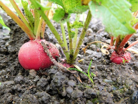 Stock Photo   The Radish In Grandma Garden. Ecology And Domestic Vegetables  For Us