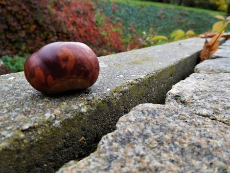 horse chestnut seed: The chestnuts are ideal food for forest animals