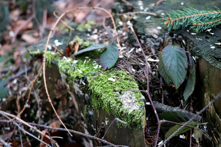 The stump covered with moss, leaves, sawdust and needles