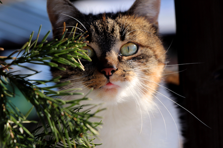 Spruce and behind twigs there is cat face full of happies and playfulness. Green eyes and tongue.