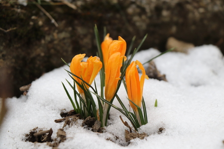 A orange crocus opening your petals for us. The last snow go away so flowers grow up Stock Photo
