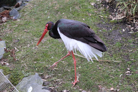 A beautiful black and white stork standing on grass as some statue