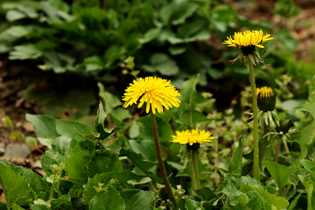 A yellow common dandelion in the middle of park. Basic flower for spring and for europe states.