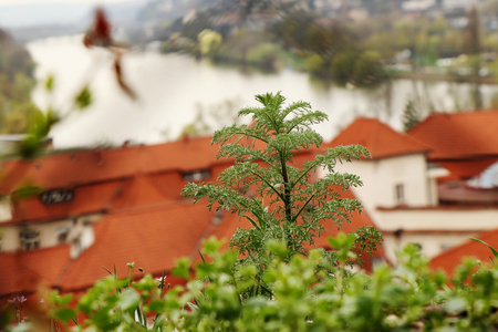 A small tree in the middle of picture and background there is view on prague and river named Vltava