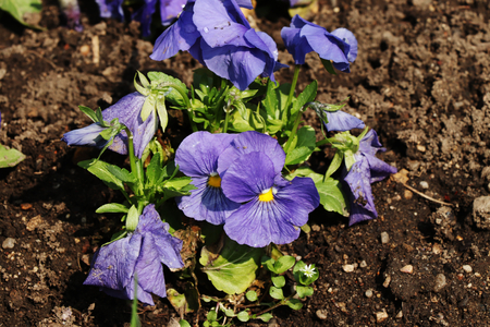 A blue bloom of violets in the ground. Is used as decorative purpose Foto de archivo