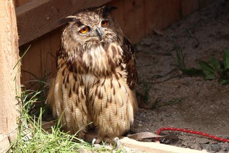A bored Eurasian eagle-owl with orange eyes sitting near wooden in park Stok Fotoğraf