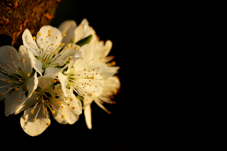 A macro on one bloom of apple tree for see pistils on this bloom. They are attached on bark and very nice black background. Springtime