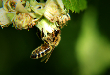 A western honey bee attached for front feets and pollinated bloom of raspberry. Green background