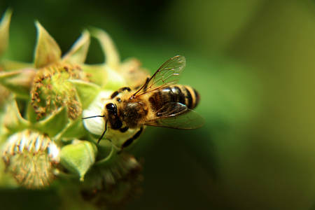 European honey bee, Apis mellifera, pollinating bloom of raspberry in springtime. Also we can see a limpid wings. Green and blur background Stock Photo