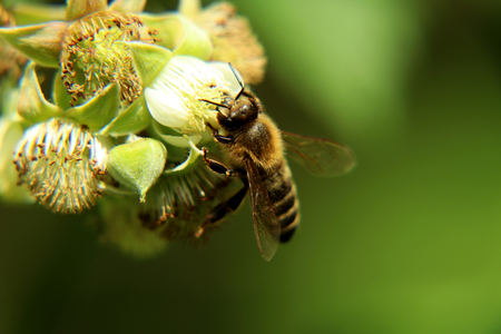A detail on head of european honey bee, apis mellifera, pollinating bloom of raspberry. Do her job very well. Stock Photo