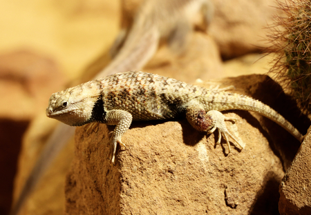 A rare desert spiny lizard in sonoran desert of north america. He warming on some hot stone. Wildlife